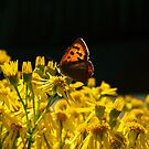 Butterfly on Ragwort by sarahjadair
