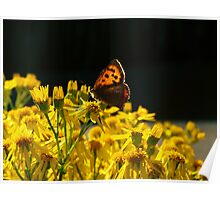 Butterfly on Ragwort Poster