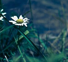 Morning Flower Daisy by MissDawnM