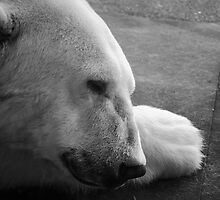 Sleeping Polar Bear by Diego  Re