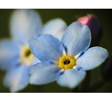 Forget-Me-Nots 12 Photographic Print