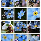 Forget-Me-Nots by photonista