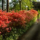 Out of the Azalea Woods by cclaude