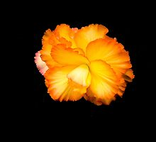 Beautiful begonia six  by jmnowak