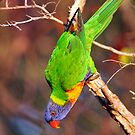 Acrobatic Rainbow Lorikeet. Cedar Creek, Qld, Australia. (2) by Ralph de Zilva