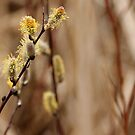 Pussy Willows - Catkins by Debbie Oppermann