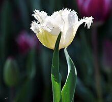 White Spring Dreams by Lozzar Flowers & Art