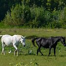 Horses and cattle egrets, WWF Oasi di Alviano, Umbria, Italy by Andrew Jones
