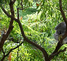 Koala in a tree by styles