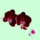 red velvet orchids   by alwayssummer