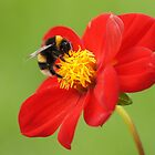 Bumblebee on red by flashcompact