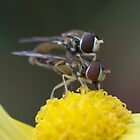 Mating Hoverflies by g-ermo