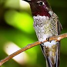 Anna's Hummingbird N3 by loiteke