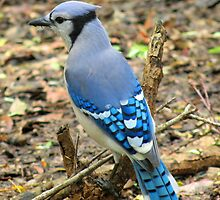 A very blue bluejay by jozi1