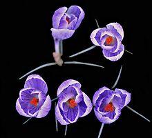 Crocuses - The Spring Messenger by pseth