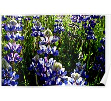 Field Lupine Poster
