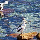Pelicans by SimplisticPhoto