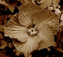 Hibiscus by Beth Achenbach