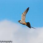 hobby in flight by Steve Shand