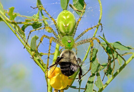 Green Lynx Spider Eats a Bee by imagetj