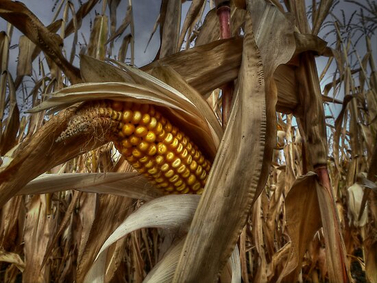 Thats A Bunch Of Corn! by Charles & Patricia   Harkins ~ Picture Oregon