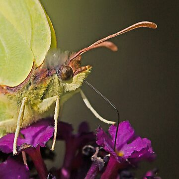 Brimstone Butterfly by MikeSquires