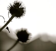 Thistle in the Light by Speculum Anima Photography