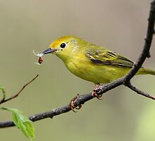 Yellow Warbler Female by Gary Fairhead