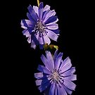 double down chicory by dedmanshootn