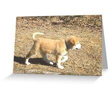 Baby Sheep Dog Calib Greeting Card