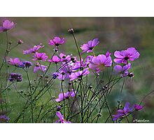 Autumn Colours - Purple Windflowers Photographic Print