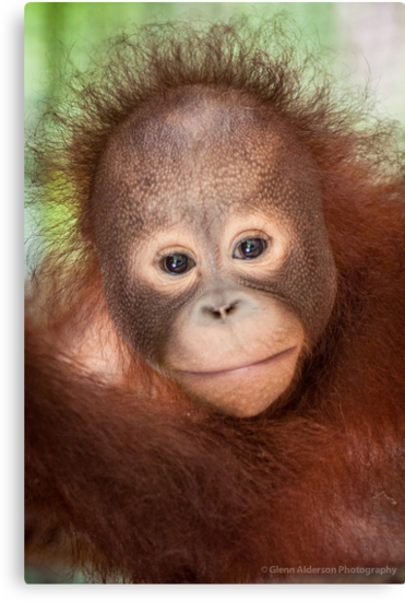 Solutions for the long-term survival by Orangutans