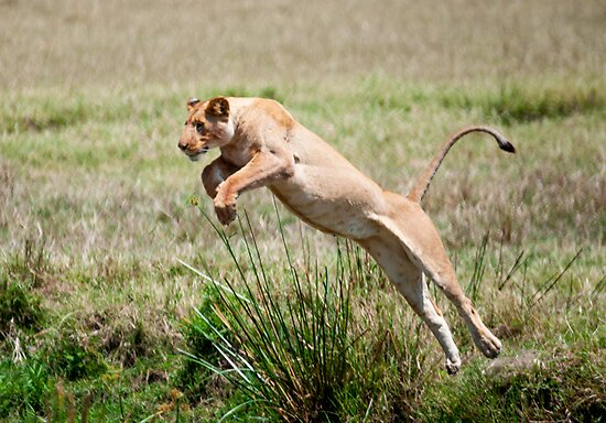 Jumping Lioness by Bernie Rosser