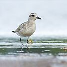 American Golden Plover Front View by Bill McMullen