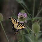Butterfly on Thistle by Sharon Batdorf