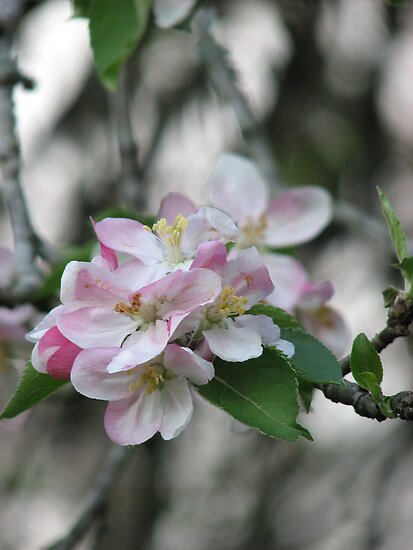 Apple Blossom by JeffeeArt4u