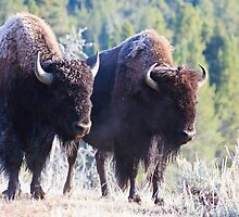 Two Frosty Bison by Carol Bock
