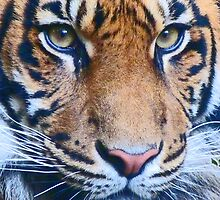 Eyes Of The Sumatran Tiger by Margaret Saheed