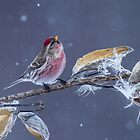 Common Redpoll (Carduelis flammea) in Gently Falling Snow by Bill McMullen