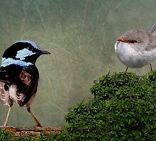Superb Fairy-wren by mosaicavenues
