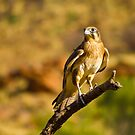 Brown Falcon by Dean Cunningham