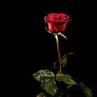 Red Rose on Black by Oleksiy Rybakov