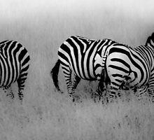 Masai Mara Zebra by Bernie Rosser
