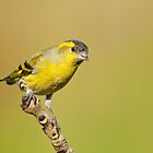 Siskin by M.S. Photography/Art