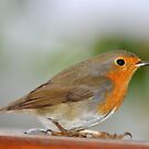 Robin Redbreast by neil harrison