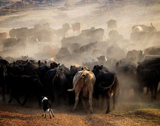 Workin' Cow Dog by pmreed