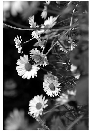 daisies by Jessica Slater