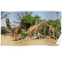 Reticulated Giraffes Poster