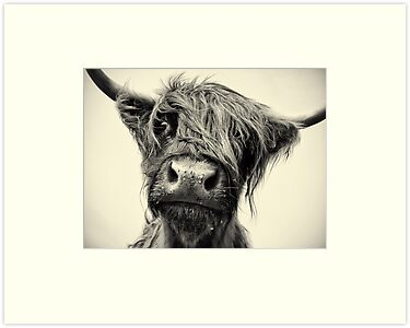 Highland Cow by Paul Alsop