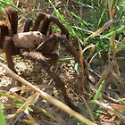 Desert Tarantula~ Morning Stroll  by Kimberly P-Chadwick